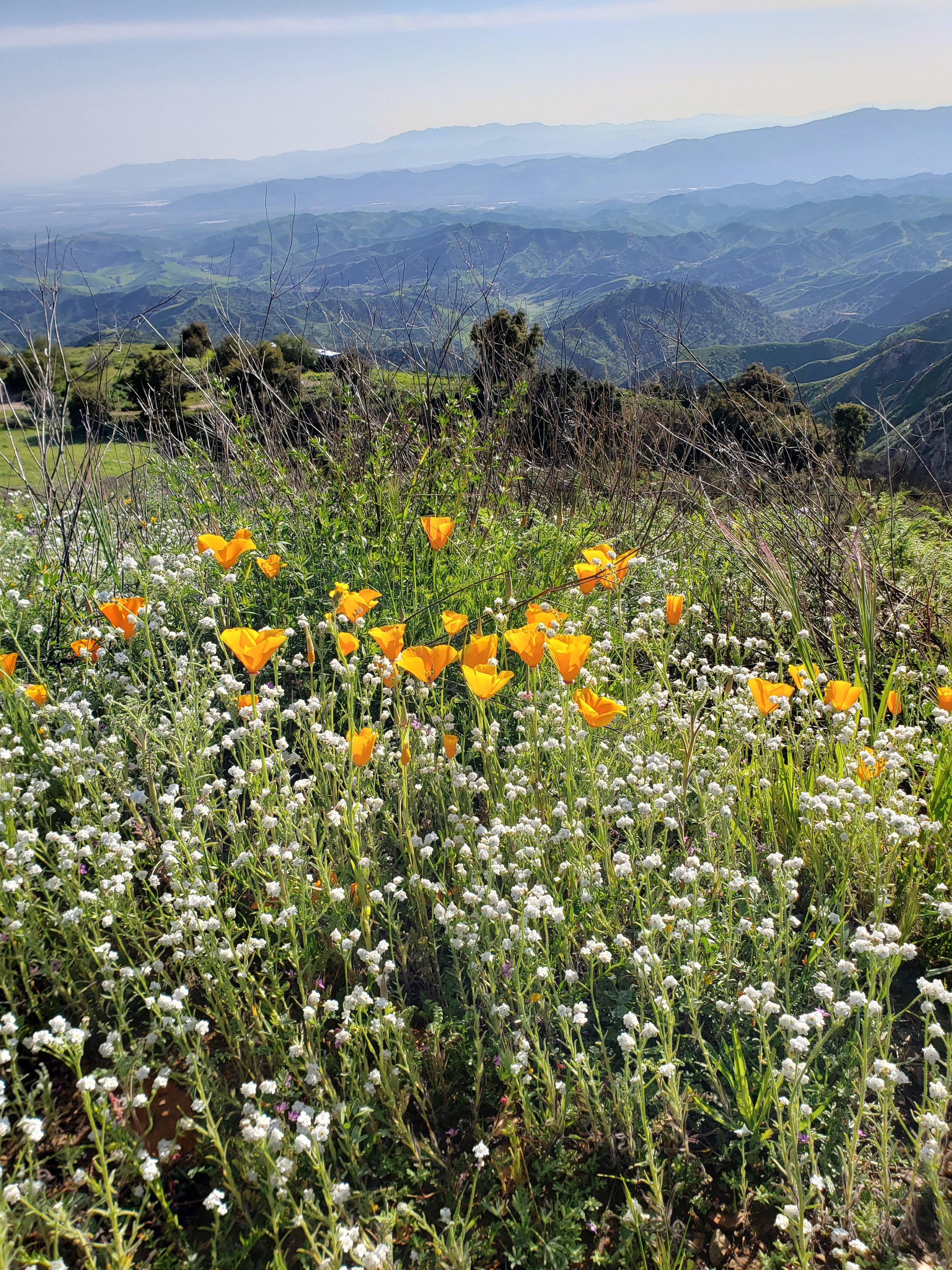 CALIFORNIA POPPIES ( Eschscholzia californica  ssp.  californica)  and a variety of the Popcornflower at Meher Mount looking south toward the Santa Monica Mountains and the Heritage Valley. (Photo: Stephanie Ervin, March 24, 2019)