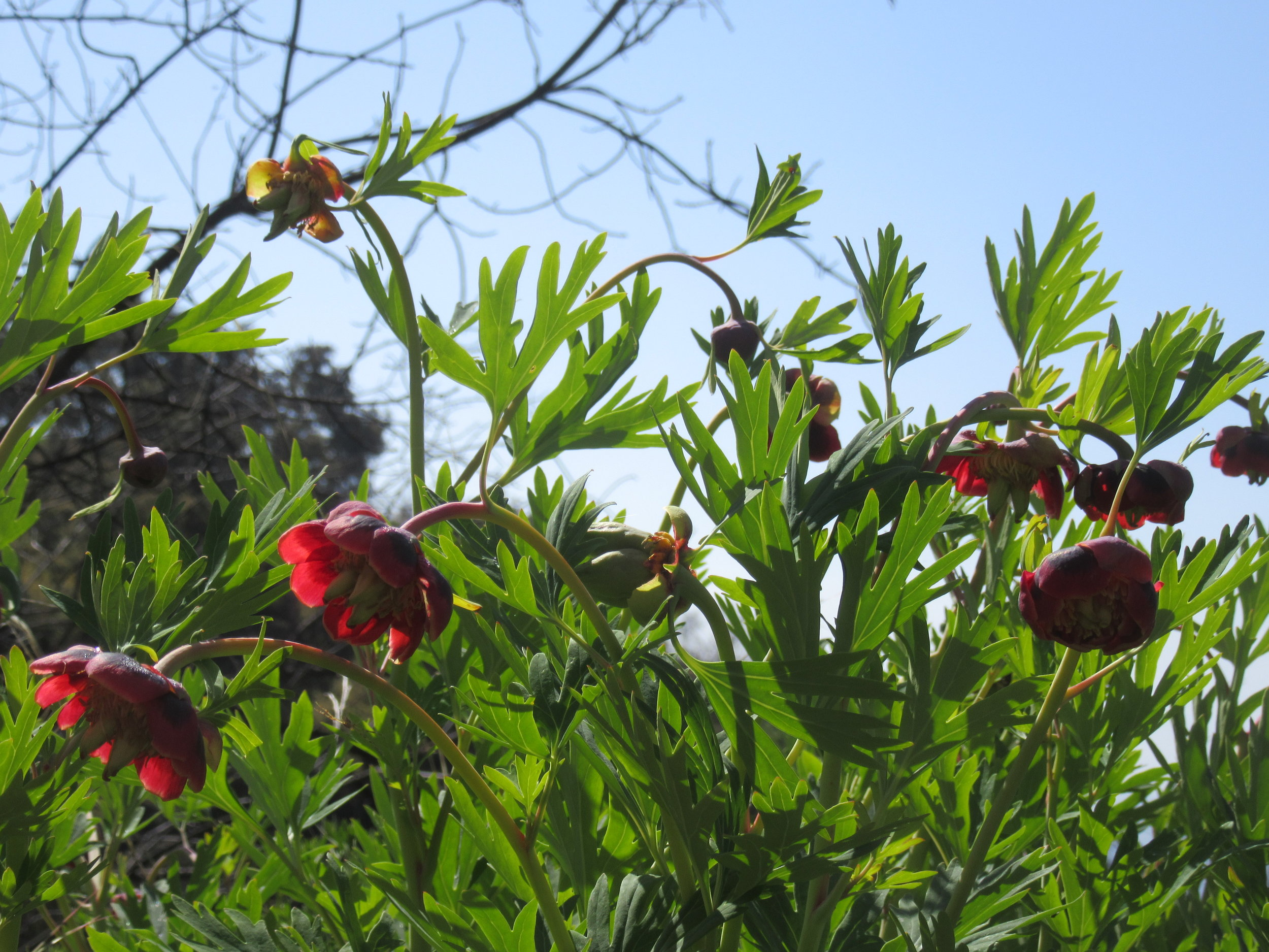 CALIFORNIA PEONY ( Paeonia californica  ) was blooming for the native plant hike at Meher Mount led by Rick Burgess of the California Native Plant Society, Channel Islands chapter. (Photo: Sam Ervin, March 24, 2019)