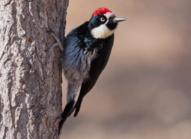 acorn_woodpecker_glamor_stephen_ramirez - All about Birds.jpg