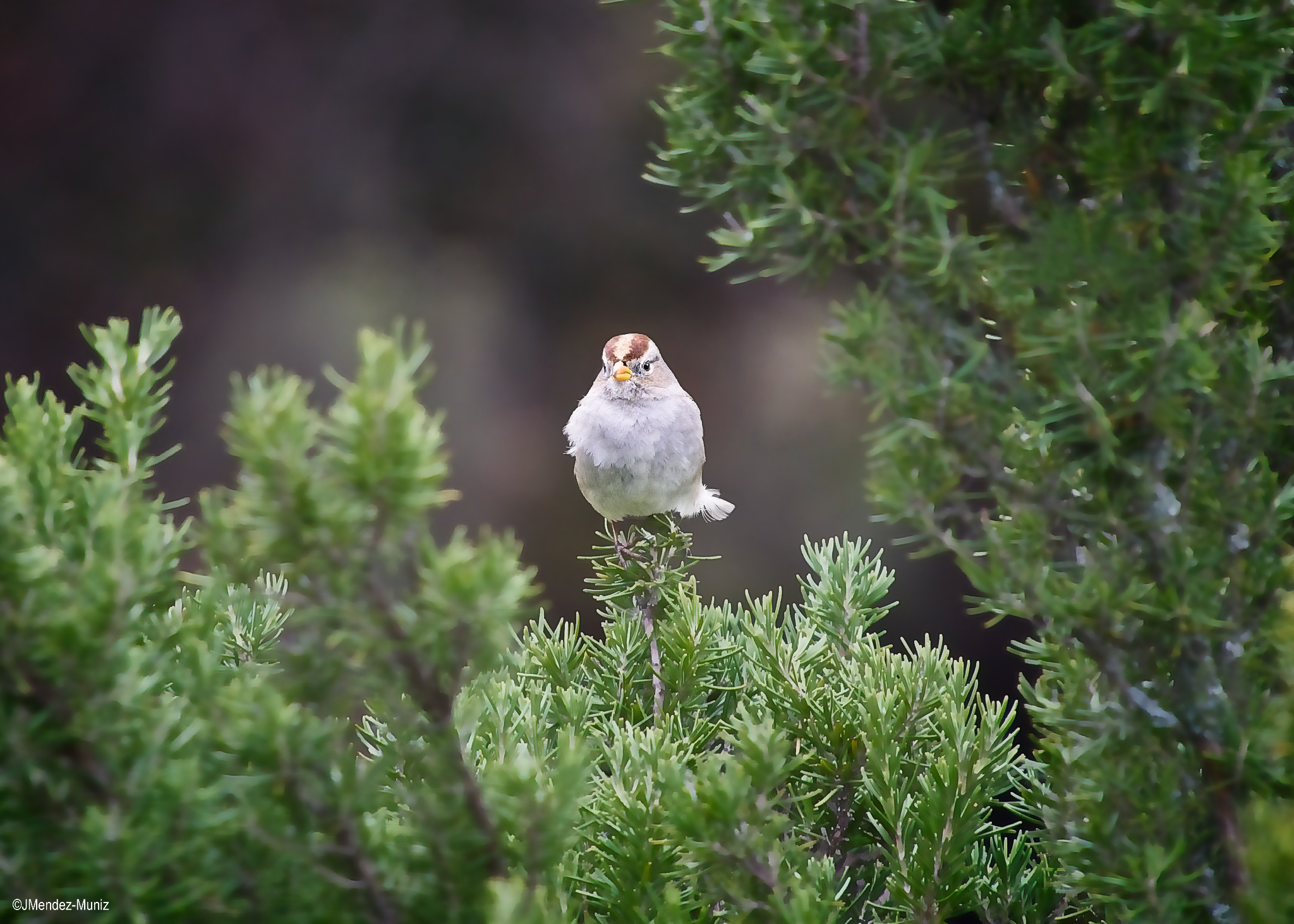 A GOLDEN CROWNED SPARROW sits on a tree branch at Meher Mount. (Photo: Juan Mendez, January 2019)
