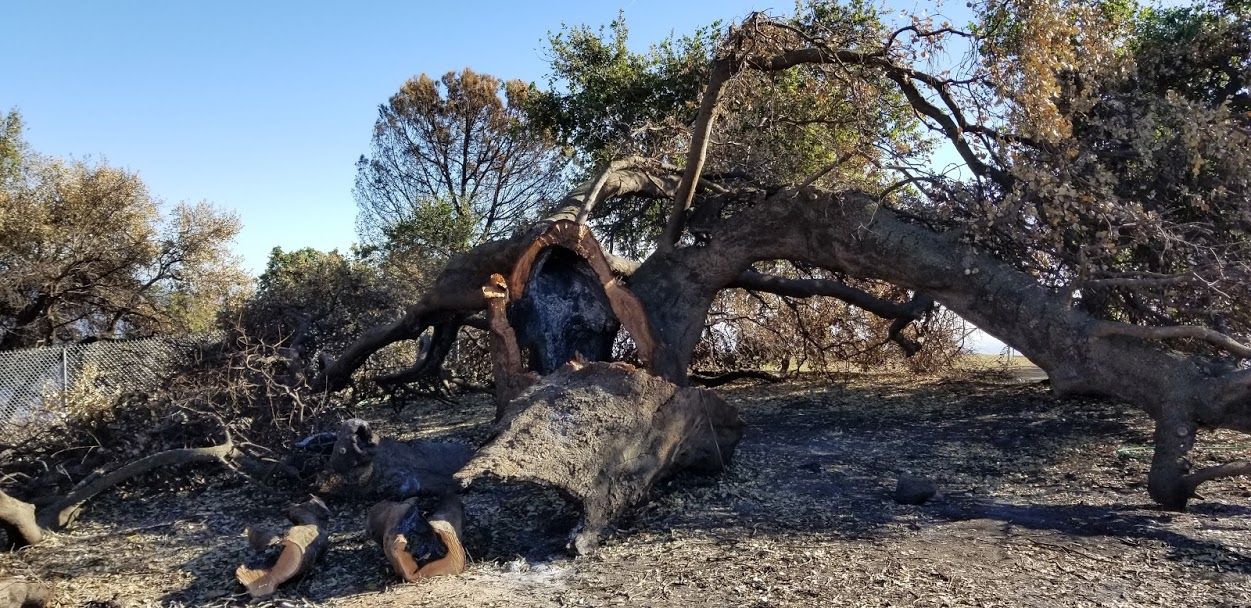 BABA'S TREE at Meher Mount two months after the December 2017 Thomas Fire and high winds burned the tree and toppled the canopy. (Photo: Margaret Magnus, February 7, 2018)