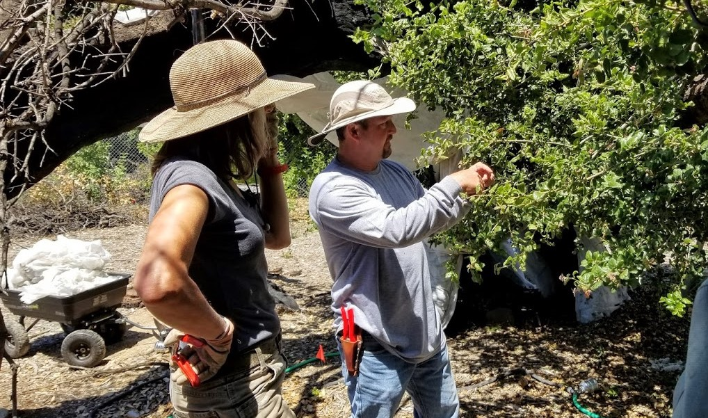 ARBORIST MICHAEL INABA shows new Manager/Caretaker Ellen Kwiatkowski and Board President Sam Ervin how to change the floating row cover and trim the new branches on Baba's Tree. (Photo: Margaret Magnus, June 22, 2019)