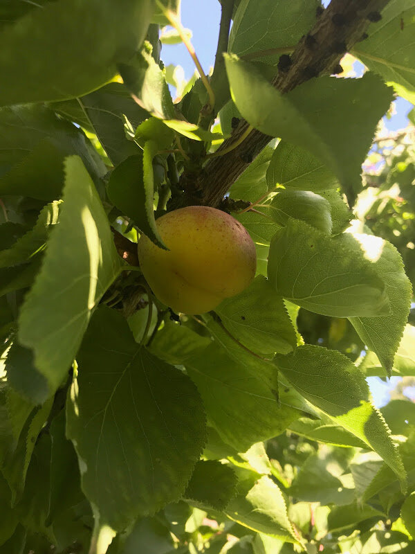 """This old apricot tree, normally used for its cooling shade, produced the first fruit that we have ever seen. There are actually five apricots, and we decided the tree was welcoming Ellen and Eric,"" Buzz Glasky, June 28, 2019. (Text and Photo: Buzz Glasky)"