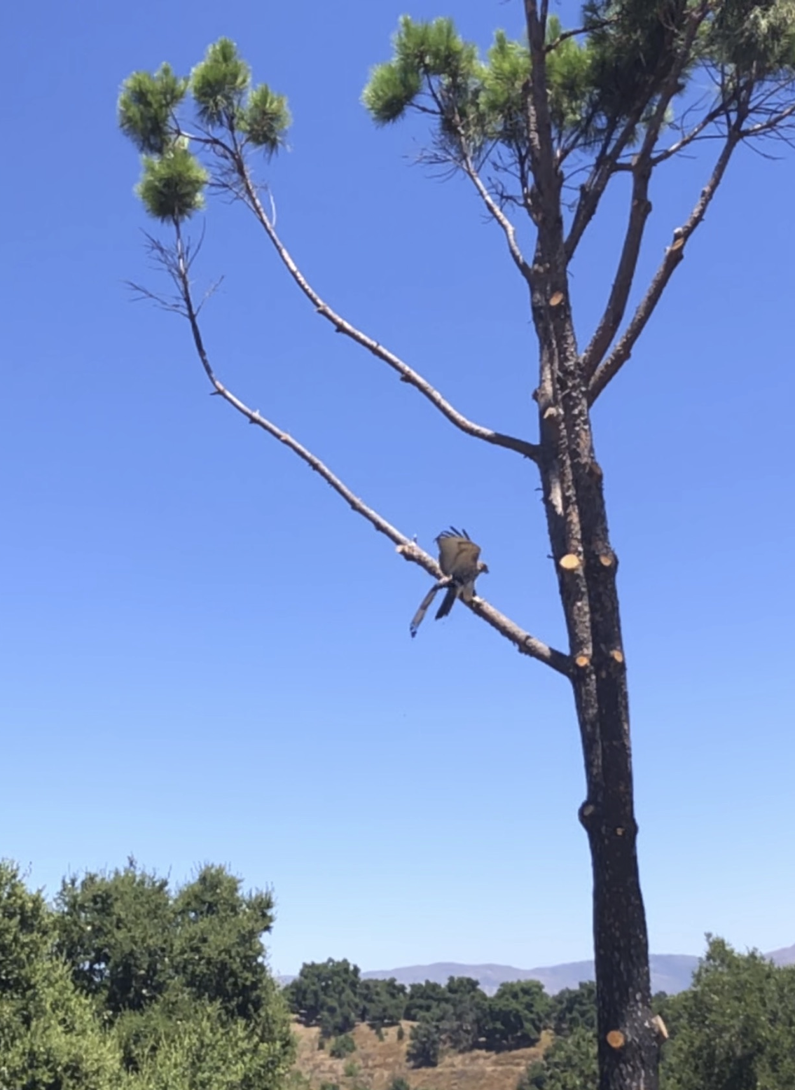 "THE NEWLY RELEASED American Kestrel perches on the branch of a pine tree at Avatar's Point next to Baba's Tree at Meher Mount. ""Odd that he is not flying away,"" said Jaclyn DeSantis from the Ojai Raptor Center. (Photo: Cassandra Bramucci, August 15, 2019)"