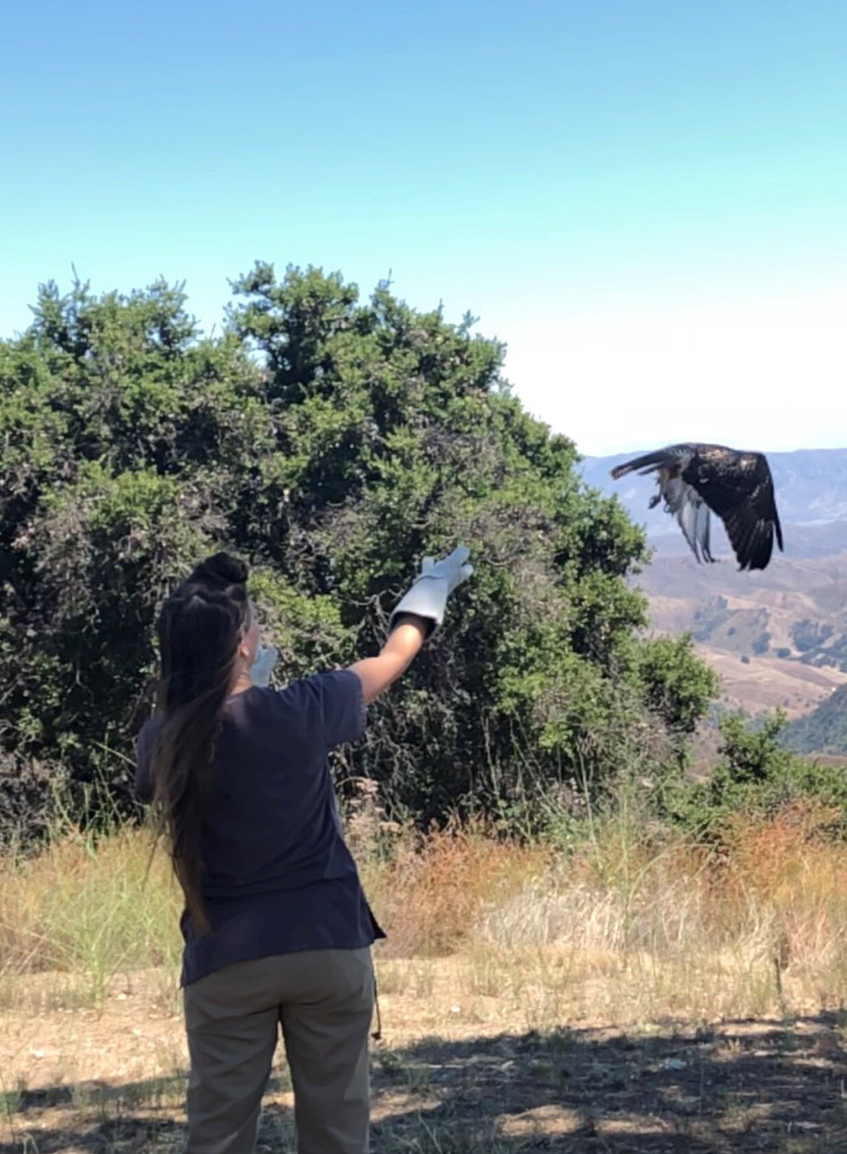 JACLYN DESANTIS from the Ojai Raptor Center (ORC) releases a Red-Tailed Hawk at Avatar's Point at Meher Mount. The raptor is being returned to the wild after its rescue and rehabilitation. Meher Mount board members James Whitson and Robert Turnage reached out to the ORC to suggest that Meher Mount would be a suitable location for raptor releases. (Photo: Cassandra Bramucci, August 15, 2019)