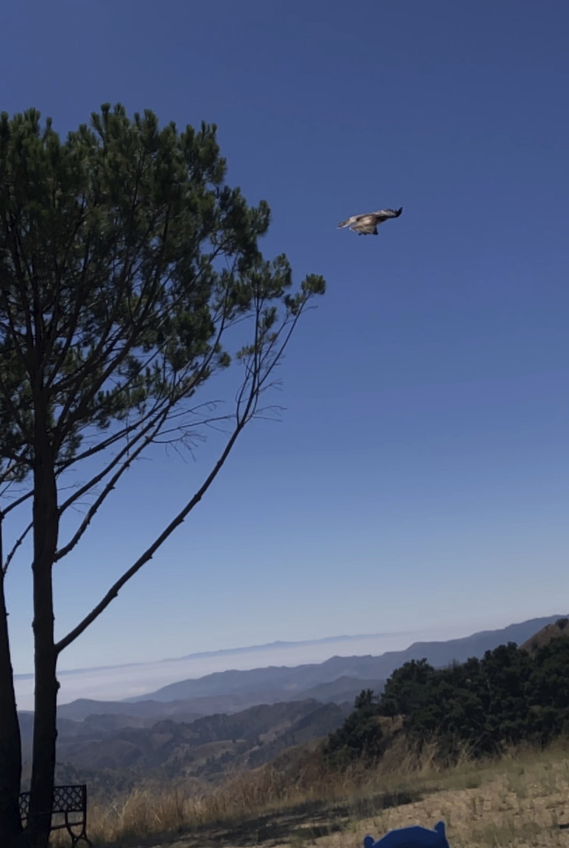 IN FLIGHT after its release at Avatar's Point, the American Kestrel soars about the valley below. The Ojai Raptor Center selected this spot at Meher Mount to release the two newly rehabilitated raptors — a Red-Tailed Hawk and an American Kestrel. (Photo: Cassandra Bramucci, August 15, 2019)