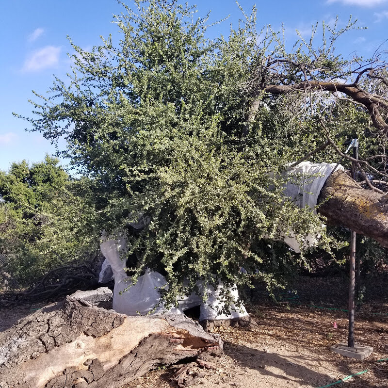 A CLOSE UP VIEW of Baba's Tree at Meher Mount. The round center wrapped in white floating row cover is the trunk of Baba's Tree. It is completely hollow inside, suffering the damage of two fires — the New Life Fire in October 1985 and the Thomas Fire in December 2017. A very thin cambian layer is supporting the tree and its growth. In front is a section of Baba's Tree that detached in the high winds that accompanied the Thomas Fire. Dead limbs and branches stretch on both sides of the center. On the right, the limb which arches over the spot where Meher Baba sat in 1956, is propped up by a steel post with a strap around the limb. Baby Baba's Tree is to the right (hidden), and the New Life Tree is to the left (hidden). (Photo: Margaret Magnus, September 2019)