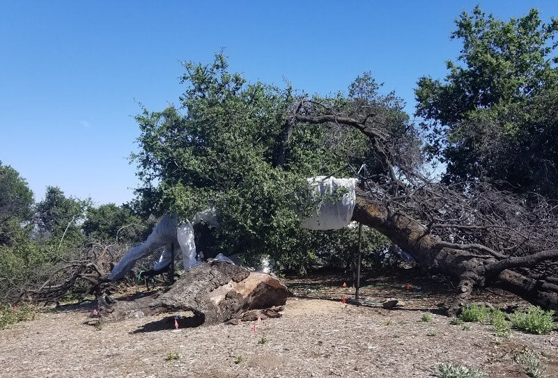 BABA'S TREE at Meher Mount almost 18 months after the December 2017 Thomas Fire. The tree is wrapped in floating row cover (trade name Argibon®) to protect from sunburn while the canopy continues to grow. The red flags mark the seedlings and saplings that have sprouted naturally. Baby Baba's Tree is in the upper right-hand side of the photo. The New Life Tree is to the left and not seen in the photograph. (Photo: Margaret Magnus, June 2019)