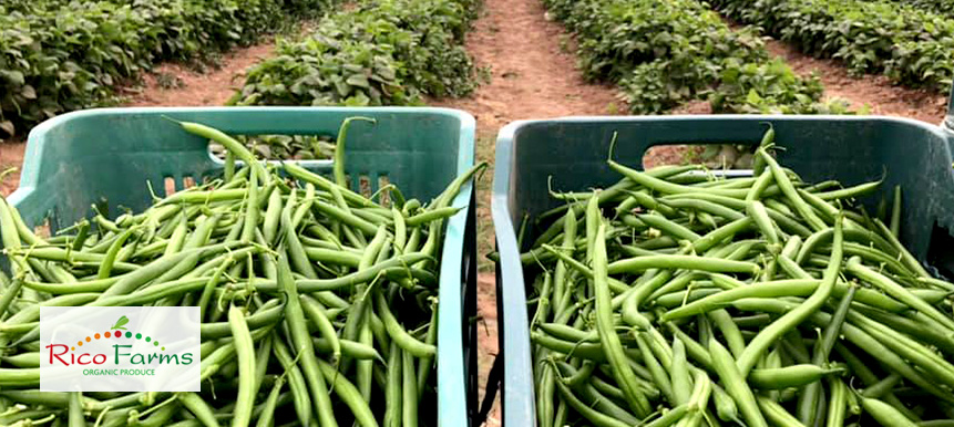 Rico Farms-Hermosillo-GreenBeans.jpg