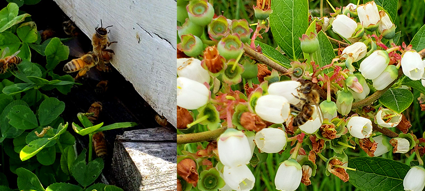 SkagitValley-Bees.jpg