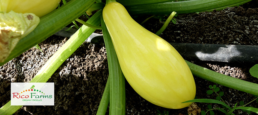 Rico Farms-Sinaloa-YellowSquash.jpg