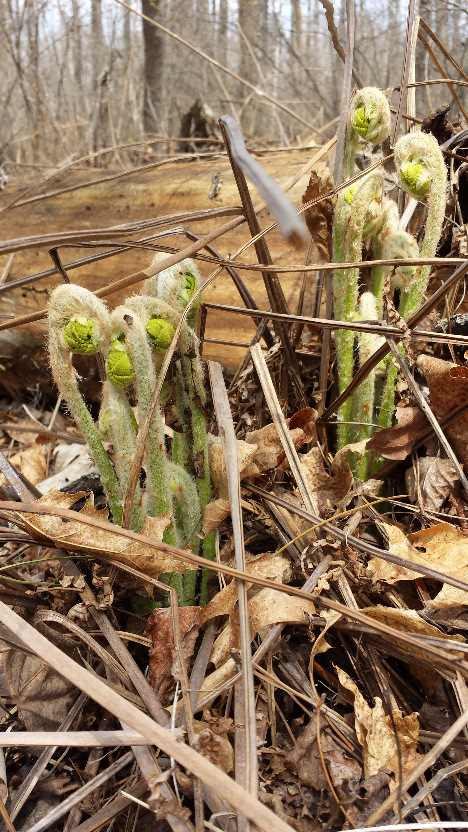 Fiddlehead ferns starting to appear in the woods surrounding Whitetail Lodge, at Smile Again Ministries.