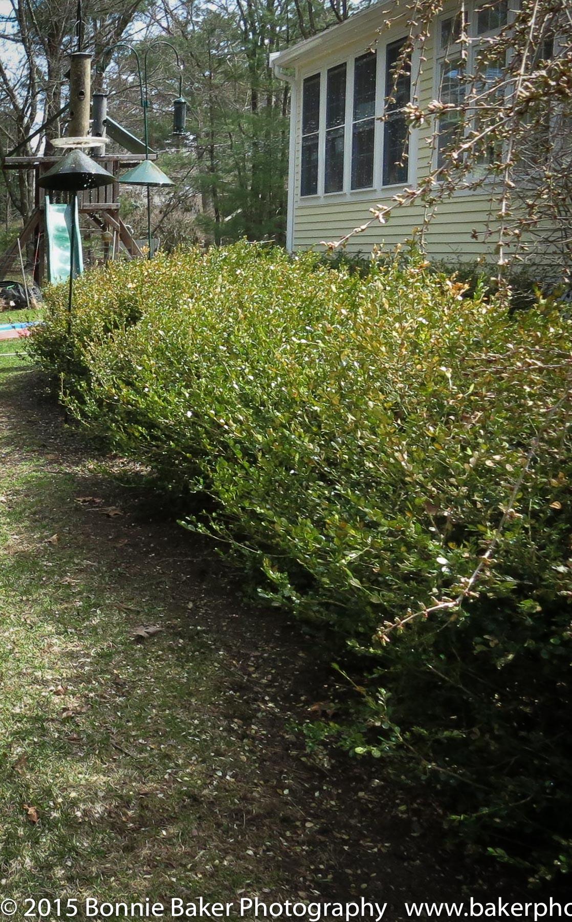 Boxwood hedge before landscaping.