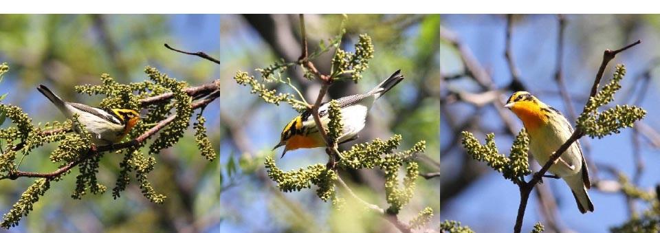 Top: Blackburnian Warbler. Photographs: Geoffrey Williamson 2017