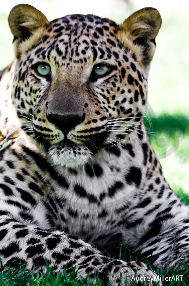 6 month old male leopard - Laguna Beach, CA