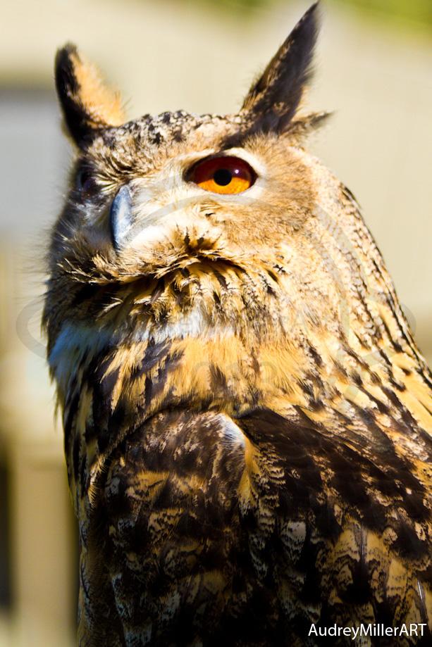 Great Horned Owl - Laguna Beach, CA