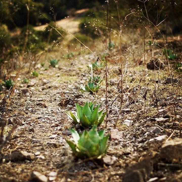 mezcal agave tobala.jpg