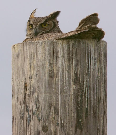 Nesting Great Horned Owl