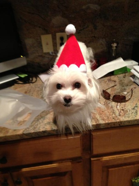 Lolli wasn't with us but she got to try on her holiday gear when we got home. Doesn't she look thrilled to be Lolli Claus?