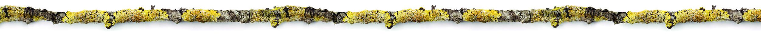YellowLichenBranch.jpg