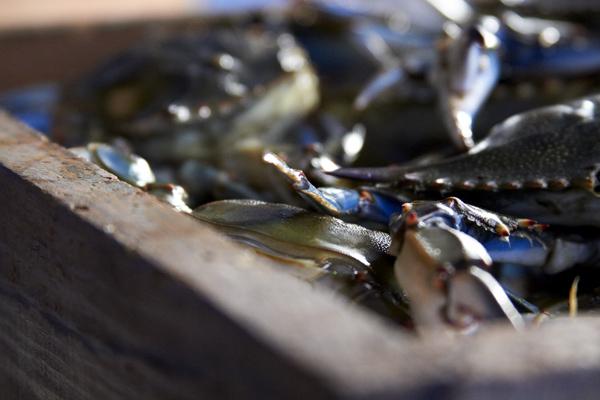 brian-wetzstein-blue-crab-01.jpg