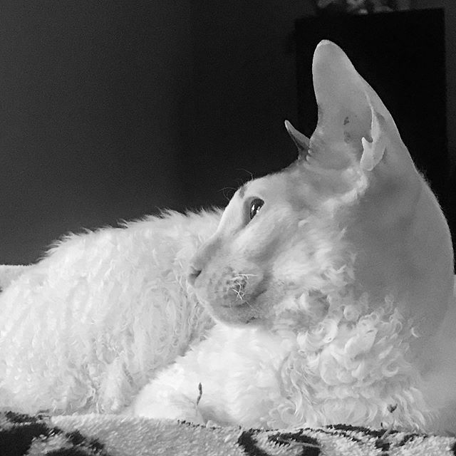 Reflecting on sleep to come.. #cornishrex #catsofinstagram