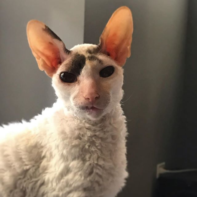 "The look of""FEED ME!"" #catsofinstagram #cornishrex"