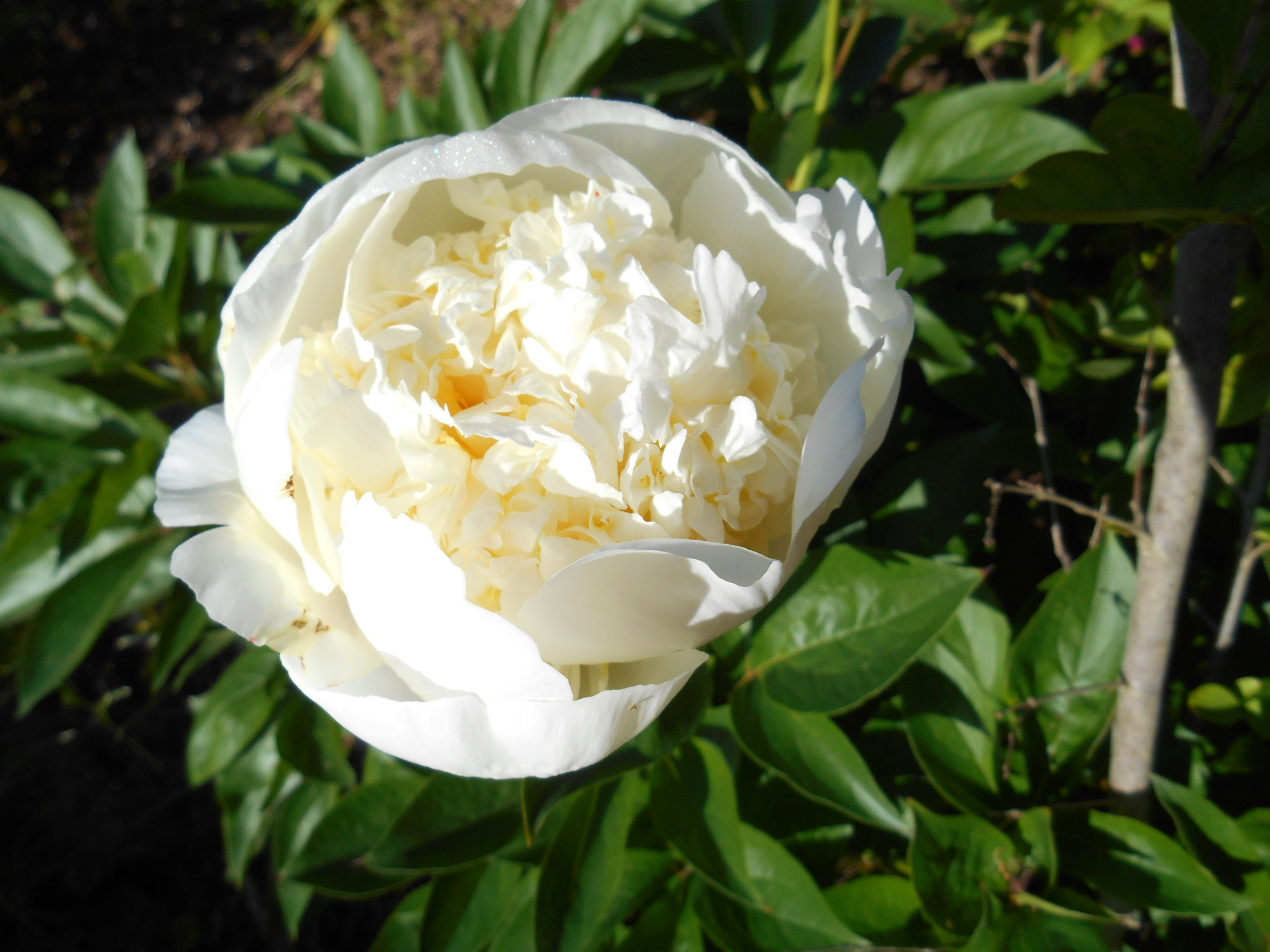 White peonies May 25 _14 001.JPG