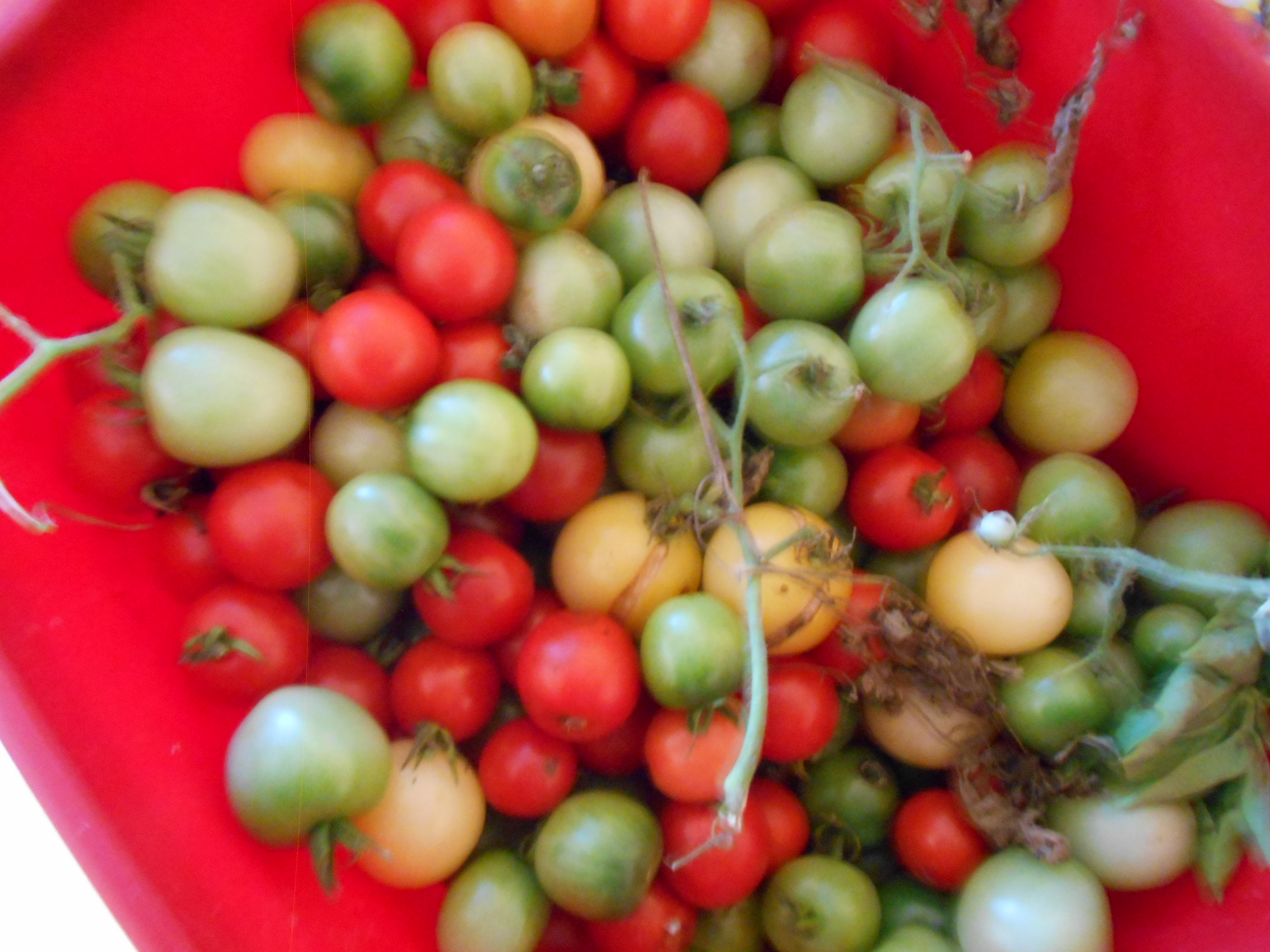 To make - green tomato chutney and maybe a ketchup as well? Lots of tomato and basil in the freezer already .....