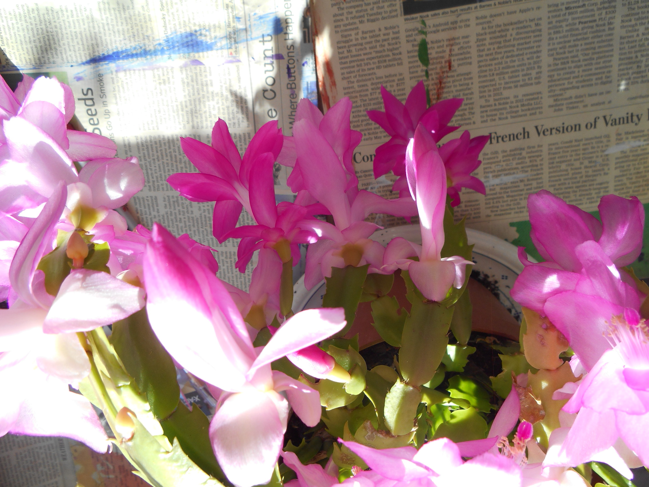 Christmas cactus 005.JPG