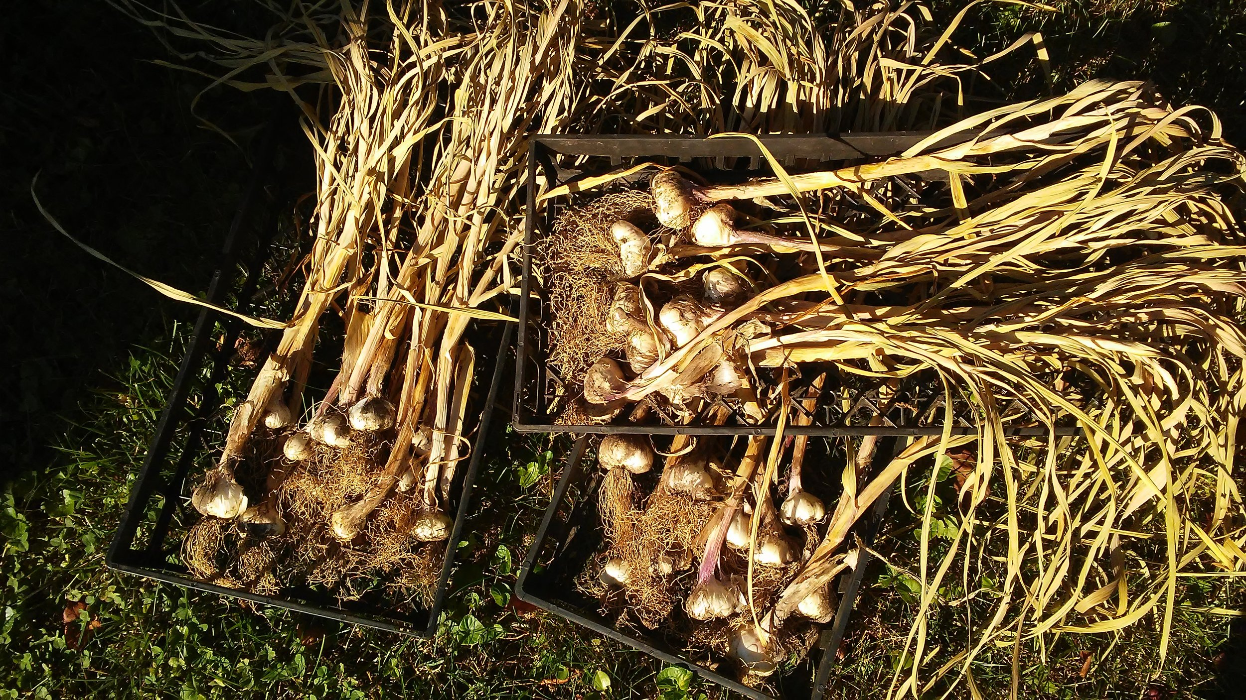 Garlic Harvest June 2017 002.jpg