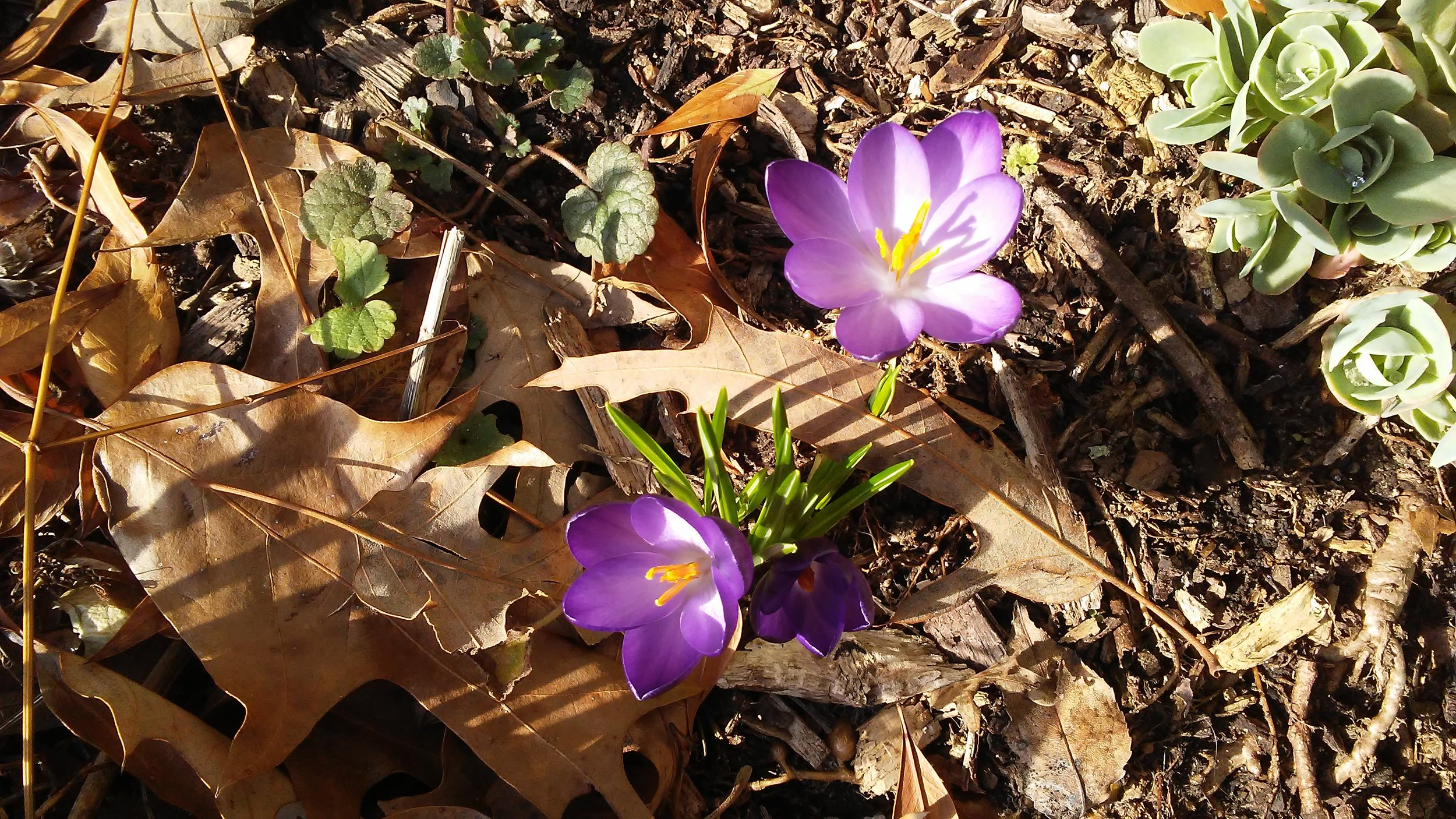The power of the tiny crocus leaf piercing the oak leaf as it grows, blooming in the February warm-up in Maryland.