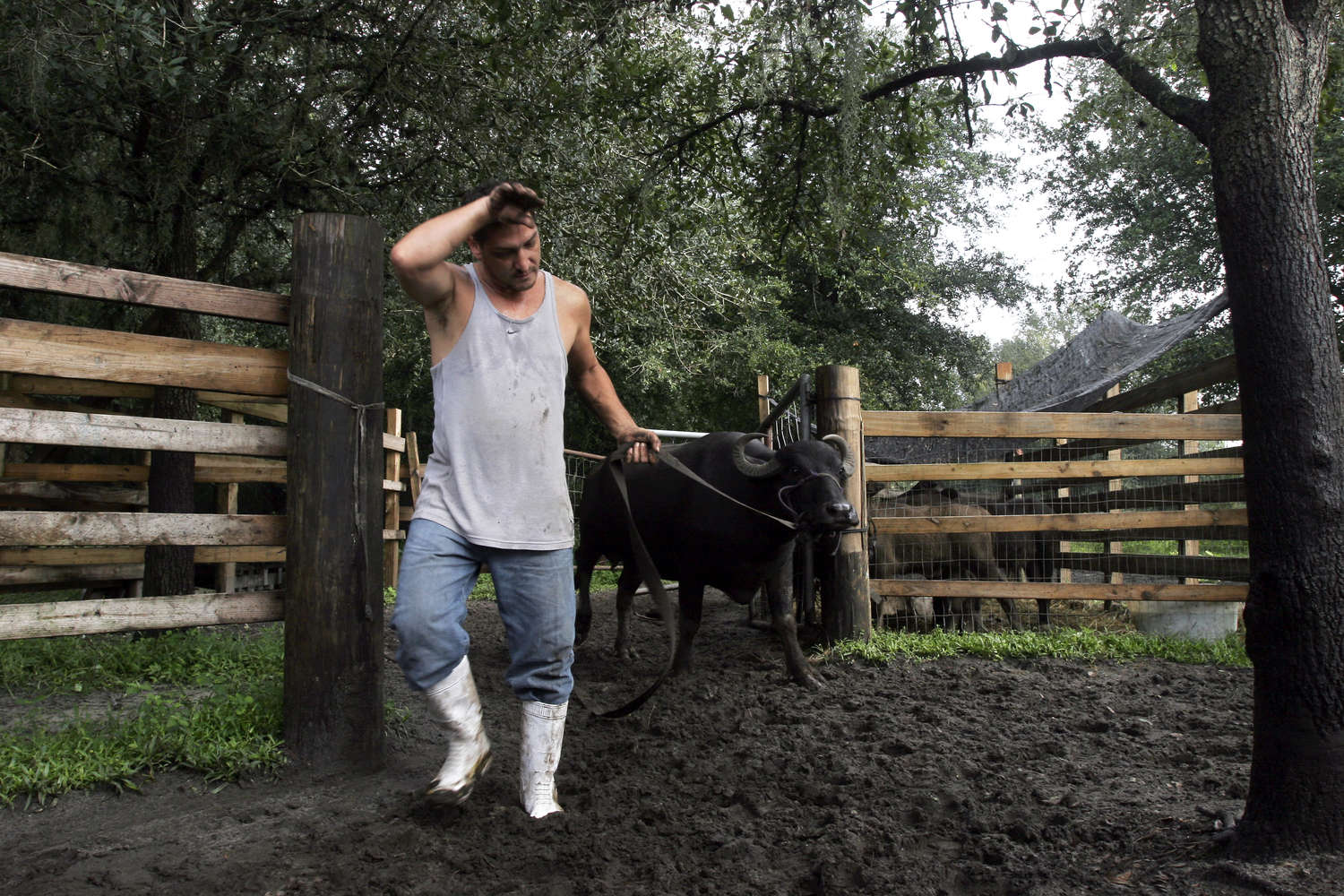 Antonino Casamento brings his buffalo off the field for milking in September 2012. (Photo by TED MCLAREN)
