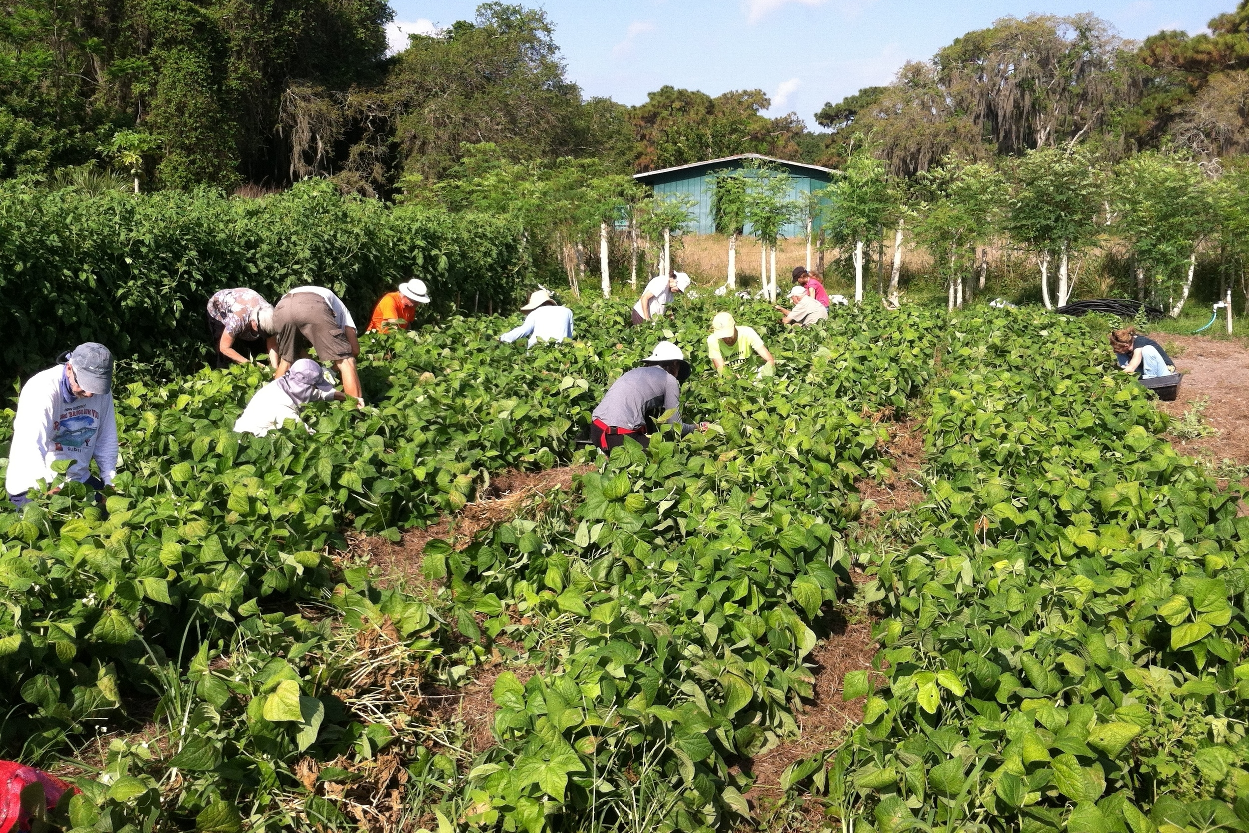Green beans were among the warm-weather crops harvested by volunteers at Jessica's Organic Farm for All Faiths Food Bank last month.