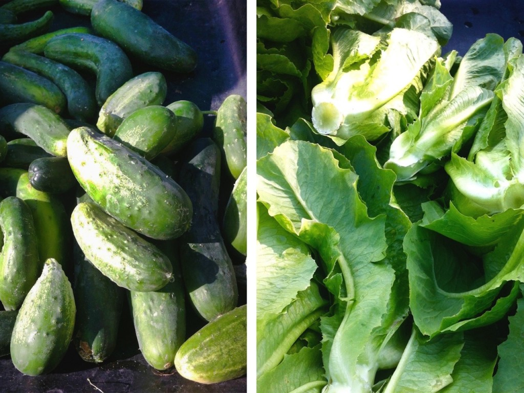 Cucumbers and Lettuce