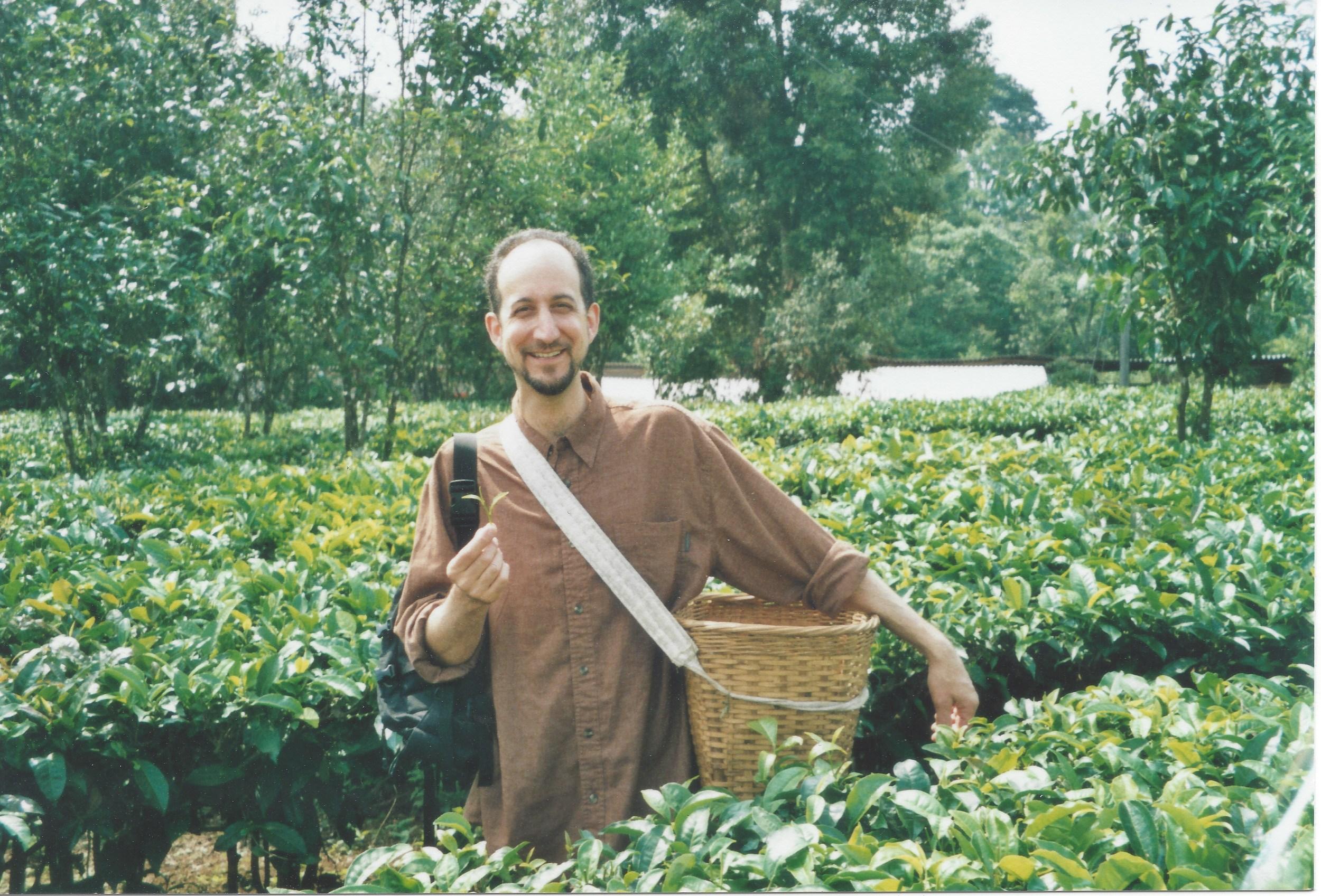 David Wright picking tea, February 2008, Xishuangbanna