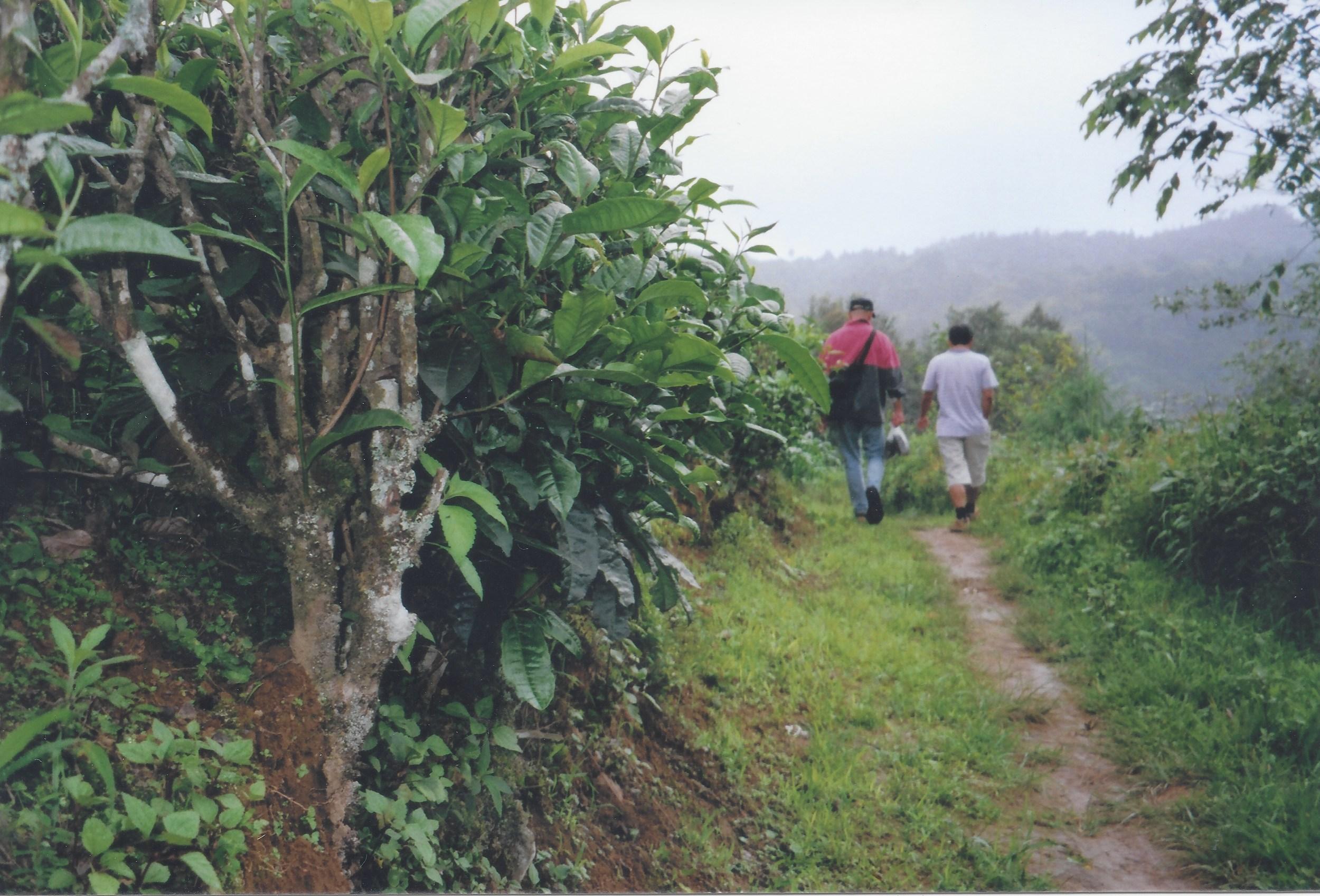 Tengchong Mountain tea garden