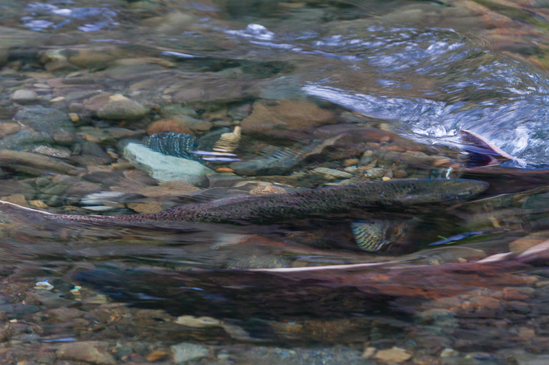 The Oregon Fall salmon run. Photo taken by Keith Novosel on a recent fishing trip.