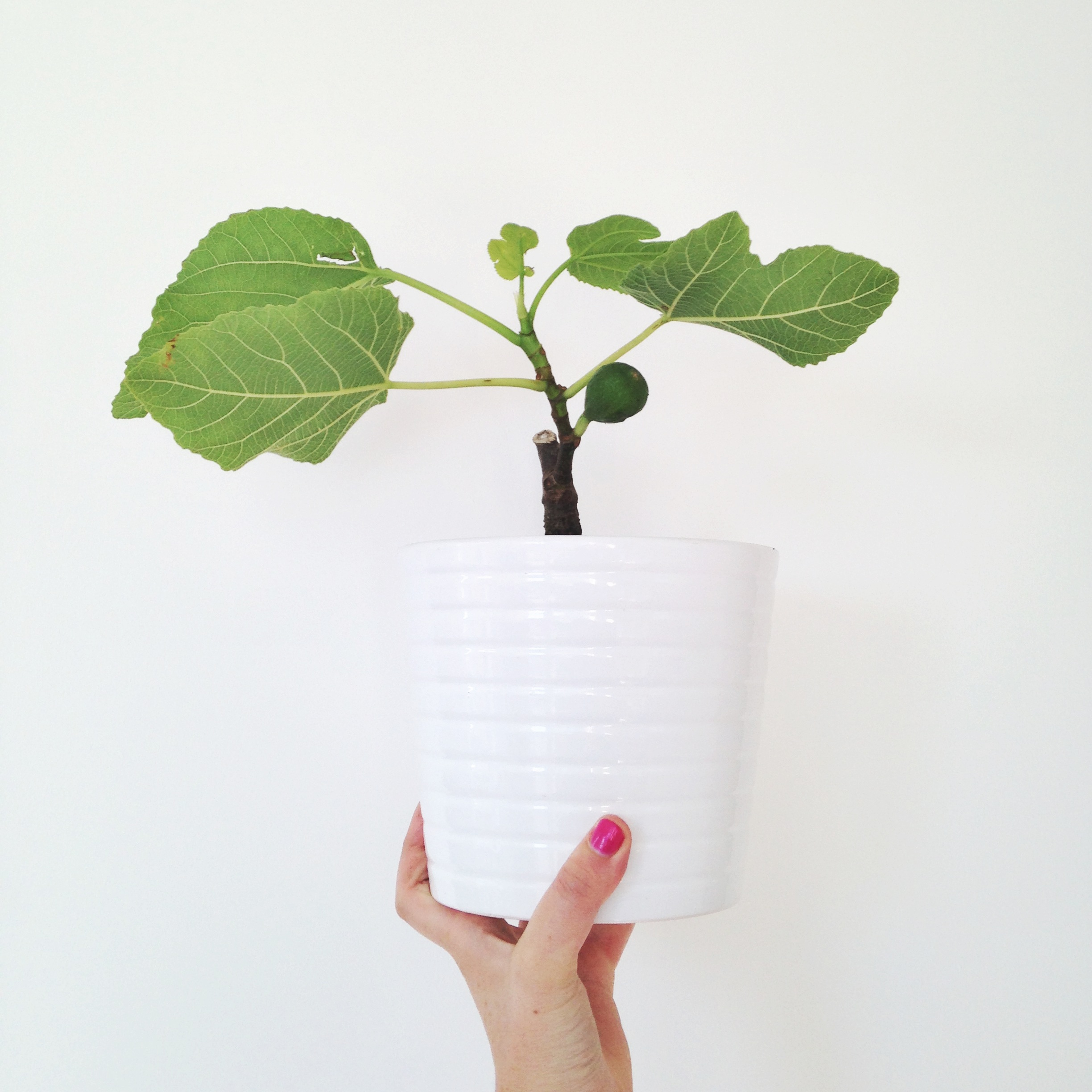 1//. this little figgy - because I have dreams of a big Pinterst-worthy fiddle leaf fig tree in my lounge!