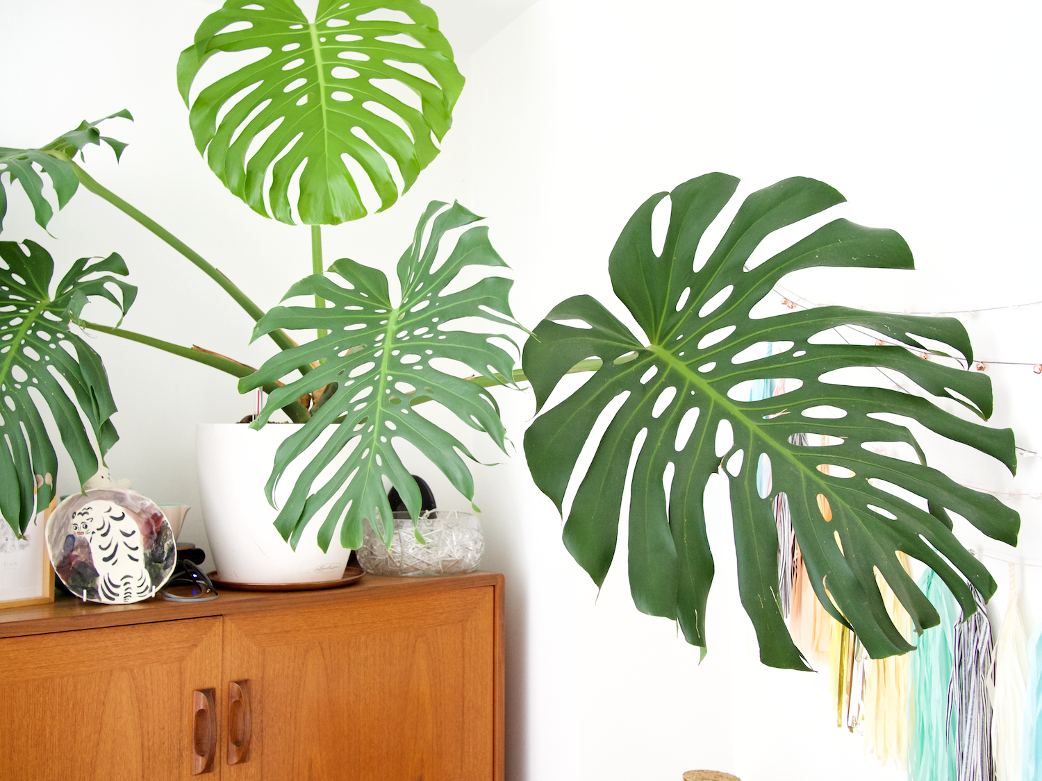 5 forgiving houseplants | cheese plant | onr. blog
