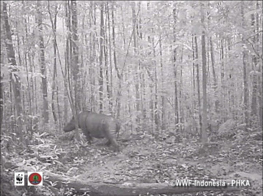 First-ever footage of wild Sumatran Rhino, world population believed to be 300