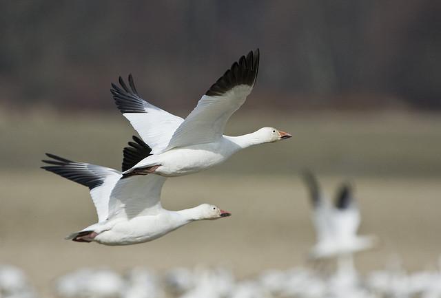4-8-13 snow geese.jpg