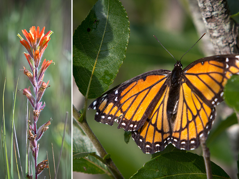 indian-paintbrush-monarch-web.jpg