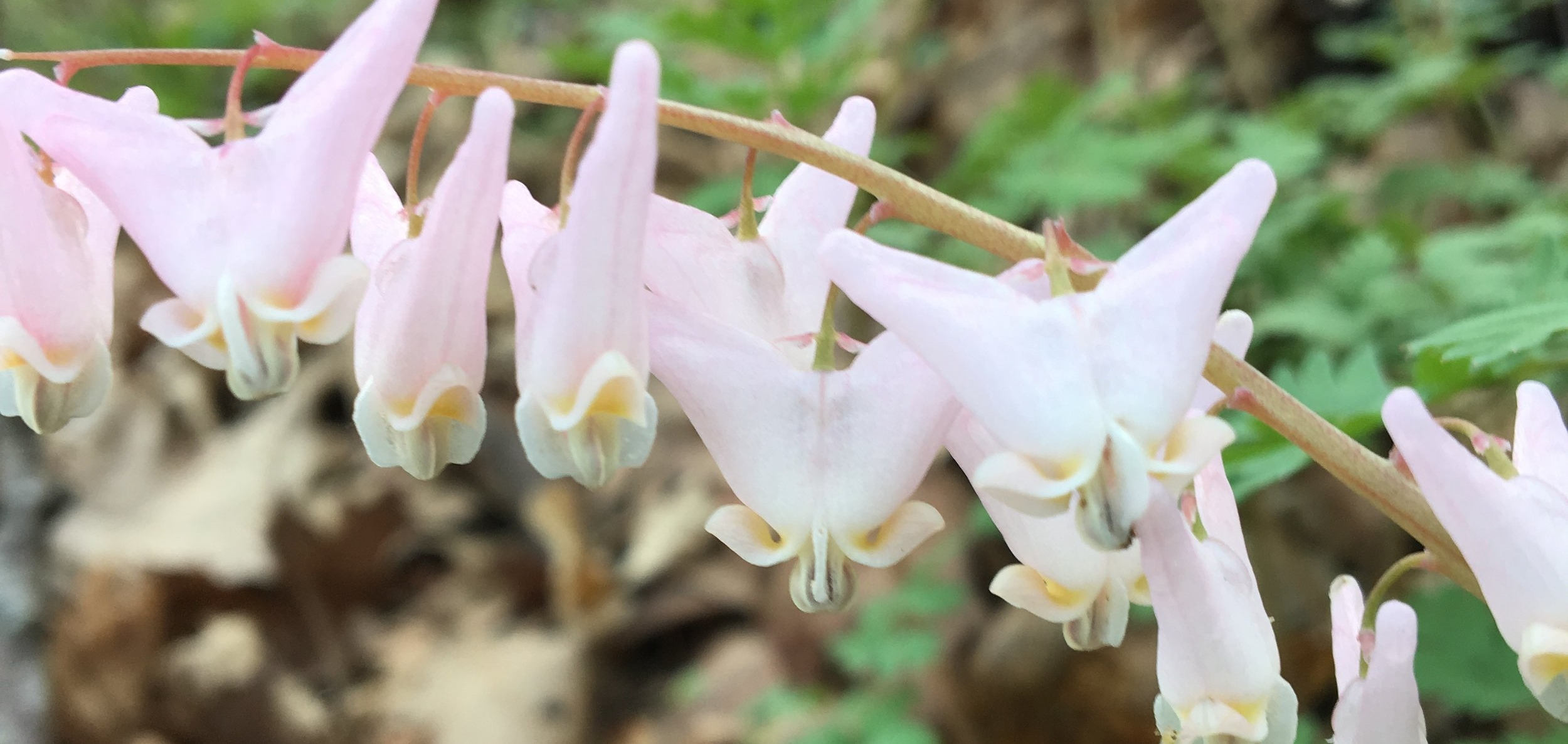 Dutchman's Breeches, a favorite wildflower, was in bloom along the bike path. (I think Dutch Bloomers would be a better name...)