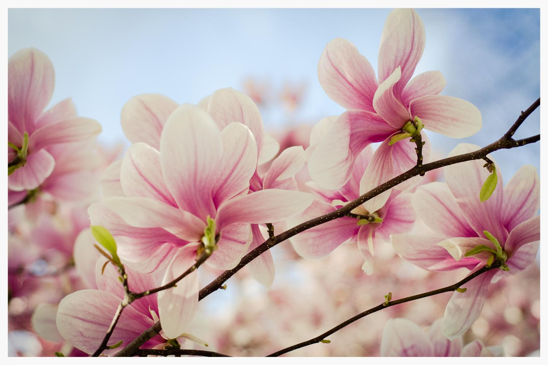 Magnolia Dream 1  © Rima Berzin