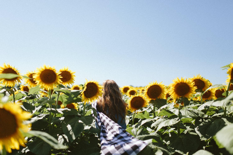 Sunflower Field Grinter's Farm in Lawrence KS-1.JPG