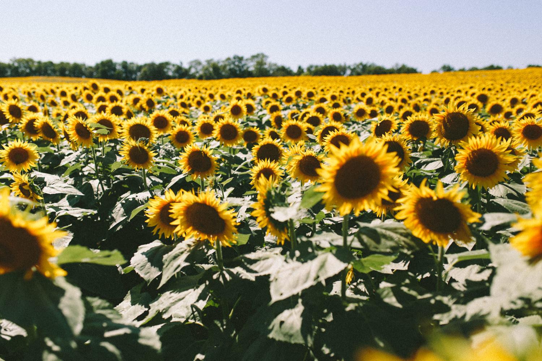 Sunflower Field Grinter's Farm in Lawrence KS-2.JPG
