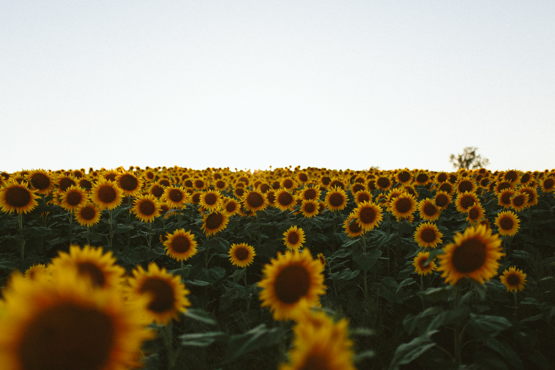 Sunflower Field Grinter's Farm in Lawrence KS-38.JPG