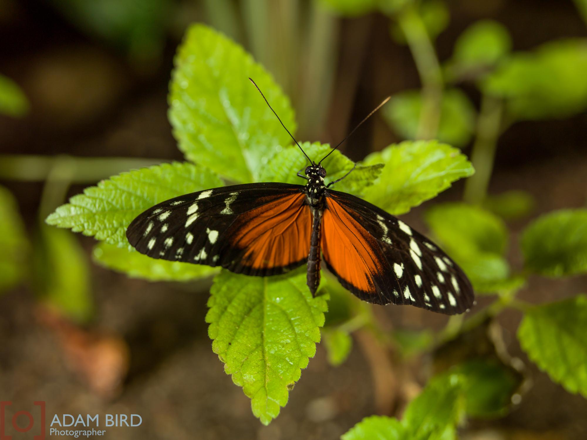 frederik_meijer_butterflies014.JPG