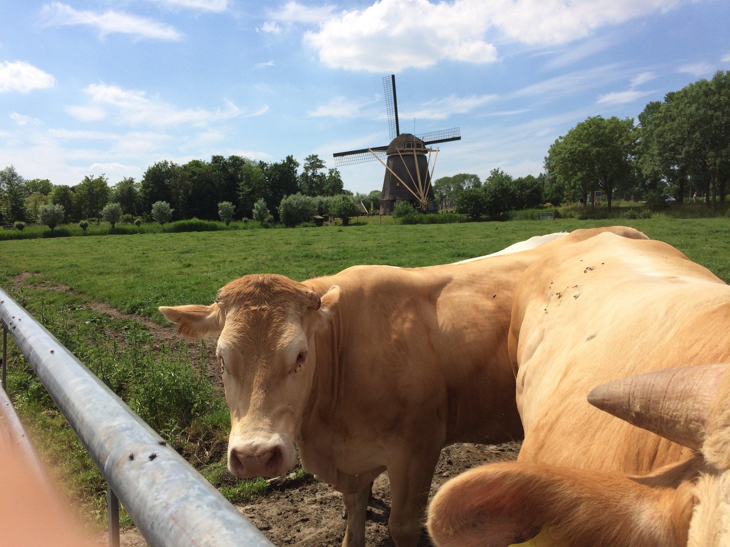 Vlees van Gijs, koeien in prachtige omgeving.jpg